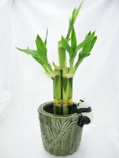 Live 5 Style Lucky Bamboo Plant Arrangement with Ceramic Panda Vase Decor Gift