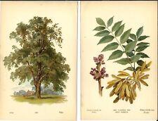 Stampa antica FRASSINO ALBERO fiori foglie botanica Fraxinus 1890 Antique print