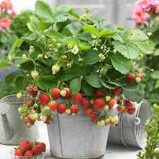 10 X STRAWBERRY SWEETHEART BAREROOT FRUIT GARDEN PLANTS POTTING GRADE