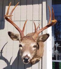 Vintage Taxidermy ~ 9 Point Buck Mounted Big Rack Deer Head~ Nice!