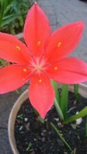SCARBOROUGH/VALLOTA LILY - RED BULBS LOT 3
