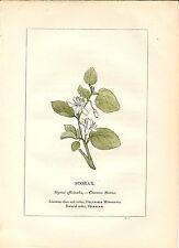 Stampa antica PIANTE DELLA BIBBIA STORACE Styrax officinalis 1842 Antique print