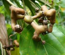 Japanese Raisin Tree - Hovenia dulcis - 10+ seeds