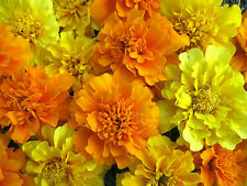 Mixed Marigold Seeds, Bonbon Farm Mix, French Marigolds, Heirloom Seeds, 100ct