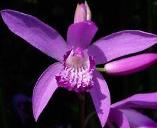 Bletilla Larmée Orchidée pour Jardin (Plante En Vase Prête Floraison)