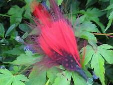 Guinea Fowl Feather with Burgundy & Red Hackle  - Arts & Crafts - Fly Tying