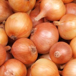 100 X Japanese Senshyu Winter Onion Seeds Vegetable