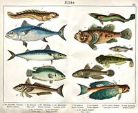 1887 SCHUBERT CHROMO #14 FISH Bullhead, Scorpion, Mackerel, Stickleback, Flying