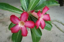Adenium Obesum-The Desert Rose-una naturale bonsai - 5 Semi Freschi