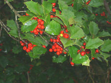 "20 Old Heavy Berry Amer Holly seeds - Ilex opaca X. "" old heavy berry X Brown """
