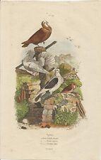STAMPA ORIGINALE ACQUERELLATA_E. GUERIN _ PRIMO 800 _ pigeons PL 544 _ PICCIONI