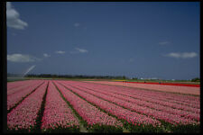 490094 Colorful tulipani nei campi BULBO nei Paesi Bassi A4 FOTO STAMPA