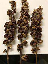 Crocosmia Lucifer PODS lots of FRESH SEEDS Self Germinating Garden Bulb Plant
