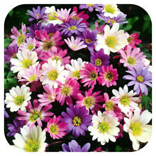 Anemone x 100 bulbs corms 'Blanda' mixed