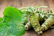 Wasabi 25 Seeds Japanese Horseradish Sushi Ingredient Herb Spice