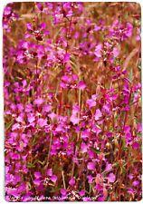 Clarkia unguiculata 'Mountain Garland' [Wild Form] 500+ SEEDS