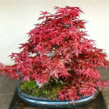 40pcs Japanese Maple Tree Bonsai Seeds Acer Palmatum Garden Balcony Plant Seeds