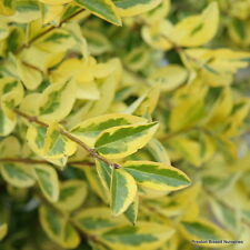 Ligustrum Ovalifolium Aureum Golden Privet Hedging 50-60cm 3 litre pot x 6