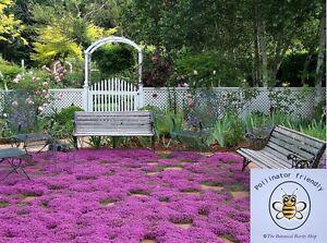 Thymus serpyllum (Wild Creeping Mother of Thyme) 50 Seeds | Garden Flowers | UK