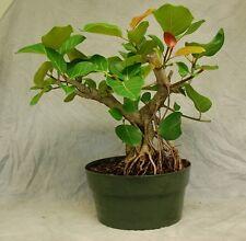 bonsai indian baniyan tree seeds (with seedling steps)