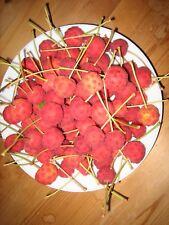 Blüten-Hartriegel-  ( Cornus-floribunda ) Samen-Umgespritzt und ungedüngt