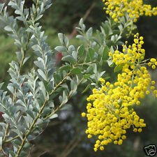 Knife-Leaf Wattle Seeds Native Evergreen Shrub Frost Drought Tolerant Weeper