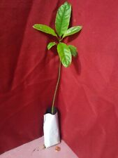 Avocado Fruit Tree Rooted In Soil 12