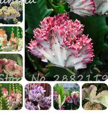 Rare Mixed Succulent Plants Euphorbia Lactea Seeds High Ornamental Value