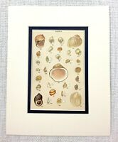 1898 Antique Print Seashells Sea Shell Snail Shells Whelk Cockle Beach Decor Art