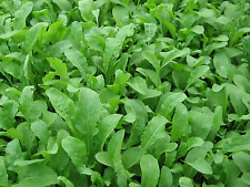 "Rocket Seeds ""Salad"" (Appox 250 Seeds) Excellent Green Salad,Easy To Grow"