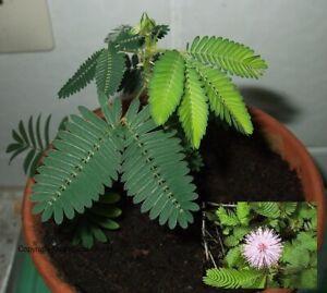 2 Mimosen Duftkräuter Pflanzen Blumen für das Zimmer den Balkon das Büropflanzen