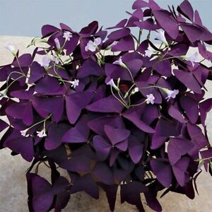 5 x Oxalis Triangularis 'Purpurea' Rhizomes - Transylvanian Cultivar!!