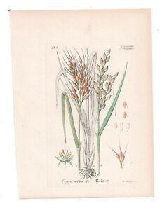 Antique Botanical Print Oryza Sativa Artus-Kirchner-1876