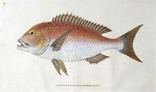 FOUR TOOTHED SPARUS Donovan original hand coloured antique FISH print 1806