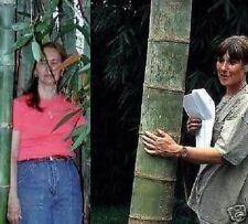 Riesenbambus Palme für drinnen hoch wachsende große Zimmerpflanze immergrün Deko