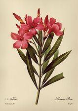 Vintage Redoute Botanical Print Oleander Pink Flower Art Cottage Decor pjr 2007