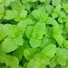 USA-Spearmint Green Lemon Mint Herb Seeds, Balm Mentha Citrata Plant 30 Seeds