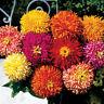 1g (approx. 100) cactus flowered zinnia seeds ZINNIA ELEGANS CHRYSSANTHEMFLORA