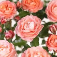 FRAGRANCE KING Rose very fragrant salmon-pink flowers patio plant 140mm pot