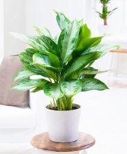 20pcs Heirloom Aglaonema Green Taro seeds Indoor Plant Elephant Ear Taro seed