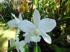 "C. White Bridal 'Yuki' Bloom size 4"" pot Nice Plant"