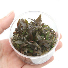 Cryptocoryne Wendtii Brown Tissue Culture Crypt Freshwater Live Aquarium Plants