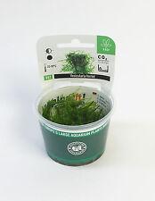 Weeping Moss Vesicularia ferriei - Dennerle Plant It InVitro Shrimp Safe
