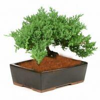Bonsai Tree Japanese Dwarf Juniper    GREAT GIFT ! # 1