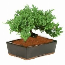 Japanese Dwarf Juniper Bonsai Tree Great Gift ! #224