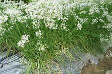 200+ Samen Knoblauchschnittlauch Schnittknoblauch- Allium tuberosum