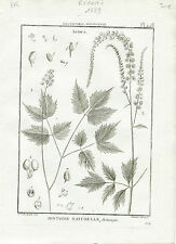 Redouté P. J. Célèbre Peintre - Rare Gravure Originale de 1789 - Actoea Pl 448