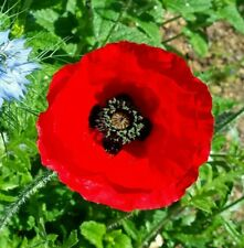 Wild Poppy Seeds 1-2000 Fresh 2019 Rich Deep Luscious Red Poppies Papaver Rhoeas