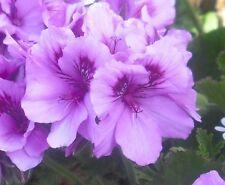 High Fidelity Regal Pelargonium / Geranium x 1 Plant