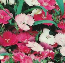 2 x DIANTHUS MIXED pink cerise & white flowers plants - 6cell seedling punnets